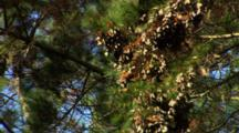 Monarch Butterflies In Branches