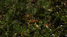 Monarch Butterflies In Branches