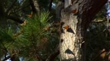 Monarch Butterflies In Forest