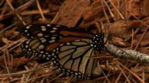 Monarch Butterfly Rests