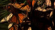 Monarch Butterflies In Pine Tree