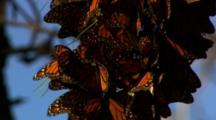 Monarch Butterflies Rest In Pine Tree