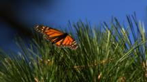 Monarch Butterfly On Pine Tree