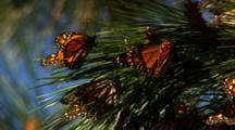 Monarch Butterflies On Pine Tree