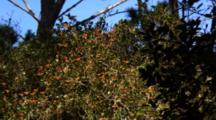 Monarch Butterflies Rest In Tree