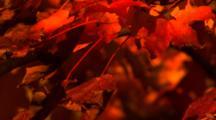 Autumn Leaves At Dusk