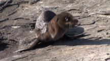 Galapagos Sea Lions, Baby