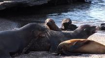 Galapagos Sea Lions, Mother And Baby