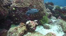 Guineafowl Puffer And Reef