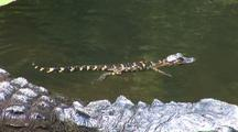 Alligator Mother & Babies