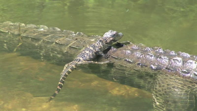 Alligator Mother & Babies