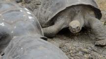 Galapagos Islands Ecuador Fabulous Giant Tortoises With Shells On Santa Cruz Highlands South America