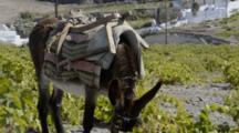 Donkey In Fields With Small Church In Background In Pirgos Area Of Santorini In Greek Islands
