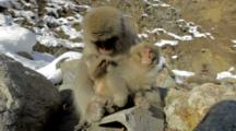 Nagano, Japan. An Adult Japanese Macaque Grooms Its Baby, The Baby Comes Close To Camera And Leaves Frame.