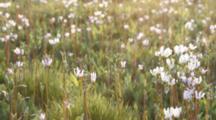Shooting Star Wildflowers At Weston Cemetery Prairie Preserve In Weston, Illinois, USA