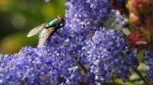 Green Bottle Fly On Native California Lilac (Ceonothus Sp), Palos Verdes, CA.