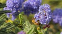 Honeybee On Native California Lilac (Ceonothus Sp), Palos Verdes, CA.