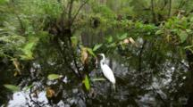 Snowy Egret Hunting In Cypress Swamp, Corkscrew Swamp Near Naples, Florida.