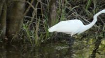 Great White Egret In Cypress Swamp, Fakahatchee State Park Near Naples, Florida.