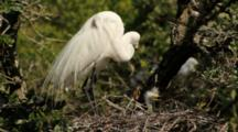 Great Egret With Young In Nest In Rookery, Northeastern Florida (Alligator Farm, St. Augustine)