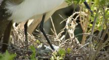 Snowy Egret On Nest With Eggs In Rookery, Northeastern Florida (Alligator Farm, St. Augustine)