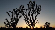 Joshua Trees At Sunset, Mojave National Preserve, CA
