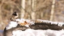 USA, Colorado, Frisco. Mountain Chickadee (Poecile Gambeli) Feeding On Peanut Butter.