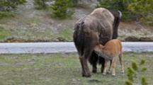 WY, Yellowstone National Park, Bison Mother And Nursing Calf, Bison Bison
