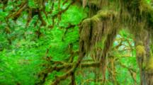 WA, Olympic National Park, Hoh Rain Forest, Hall Of Mosses, Moss Covered Trees And Ferns (Still Image Pan)