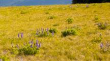 WA, Olympic National Park, Hurricane Ridge, Subalpine Lupine Meadow, With A Black-Tailed Deer (Still Image Pan)