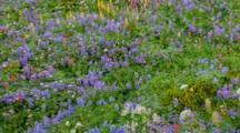 WA, Mt. Rainier NP, Wildflowers At Mazama Ridge (Still Image Pan)