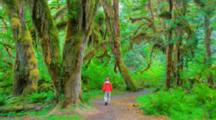 WA, Olympic National Park, Hoh Rain Forest, Hall Of Mosses, Moss Covered Trees And Ferns (MR) (Still Image Zoom)