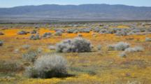 CA, Antelope Valley Near Lancaster, California Poppy And Goldfield Flowers