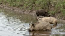 USA, Texas, Laguna Atascosa National Wildlife Refuge, Feral Hog, Sus Scrofa, Foraging