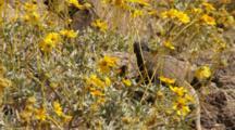 Chuckwalla Lizard Near Brittlebrush Flowers In Joshua Tree National Park, CA