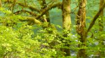 Moss Covered Alder Trees And Vine Maples Along The Skagit River In Spring, Skagit Valley, Washington, United States