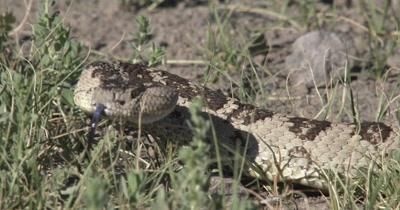 western rattlesnake 4K UHD