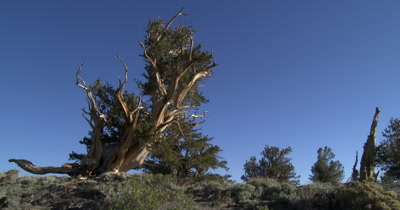 Bristlecone Pine in the White Mountains 4K UHD