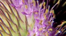 Extreme Close Up, Thistle