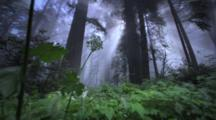 Redwoods And God-Rays In Forest