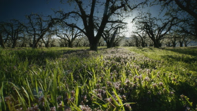 Apple Orchard,flowers and blossoms at dawn,Mount Hood,OR