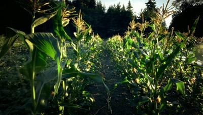 Cornfield on organic farm in Oregon