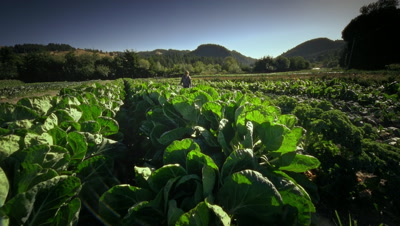 Woman harvesting lettuce on Organic farm in Oregon