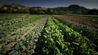 Chard and lettuce in Organic Farm in Oregon