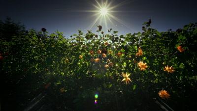 Field of flowers in Organic Farm in Oregon
