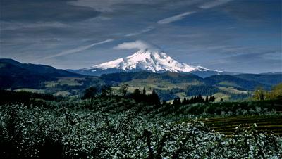 Apple Orchard and Mount Hood,Oregon