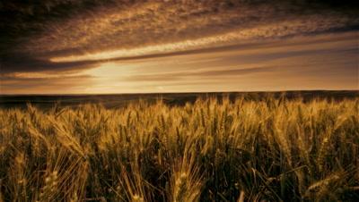 Wheat field at sunset,Eastern Washington