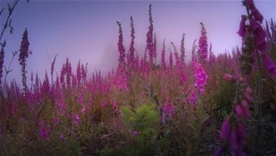 Foxgloves and morning fog,Oregon