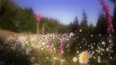Foxgloves and daisies in field