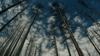 Burnt forest with clouds,California